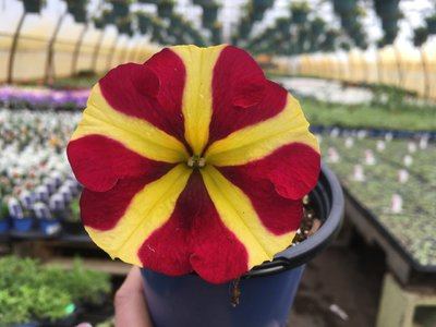 Petunia Amore Queen of Hearts - Spiller